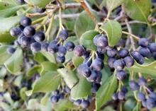 Dozens of dark blue-black berries hang from stems amid green leaves.