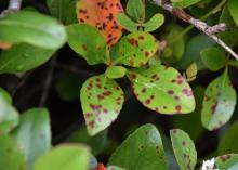 Reddish-brown circles dot the surface of green leaves.