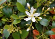 A single, white, five-petaled flower blooms above a background of green foliage.