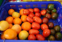 A blue basket holds tomatoes in a range of colors from yellow to dark green with a hint of red.