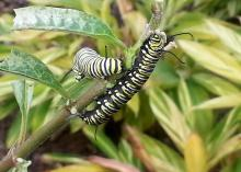 Two caterpillars with black, green and white stripes feed on the leaves of a plant.