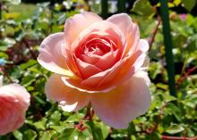 A single rose in peach tones blooms against a blurry green background.