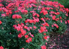 Dozens of red blooms cover the surface of a green-leaved shrub.
