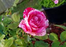 A single rose bloom is hot pink streaked with white and rises on its stem above green leaves.