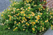 Round flowers in various shades of yellow cover a mounding green black growing against a brick column.