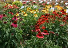 Clumps of orange, red and yellow flowers with raised center cones rise above a sea of green stems.