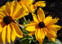 Two large, yellow flowers with brown centers bloom atop a green stem.