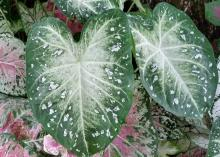 Two large caladium leaves with green edges and white centers in the foreground on top of other smaller leaves.