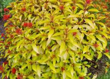 A top-down look at a mounding shrub composed of lime-green leaves and round clusters of red flowers.