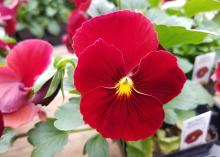 A vivid red flower with a yellow center and small black lines blooms in a container.