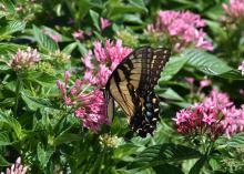A yellow and black butterfly rests atop a cluster of small pink flowers blooming above a sea of green foliage.