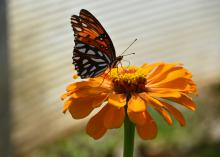 A black butterfly with red and white spots stands on top of a single orange bloom.