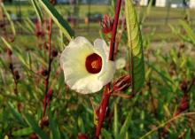 A white flower with a red center blooms among green leaves on red stems.