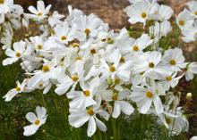 Dozens of white blooms with yellow centers stand atop slender stems.