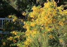 A mounding shrub covered in yellow blooms rises from a landscape bed beside a fence.