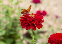An orange butterfly rests atop a red zinnia against a blurred out background.