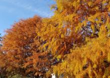 Two trees with orange and yellow foliage.