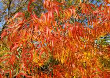 Long, narrow orange and red leaves dangle from branches.