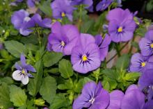 A dozen purple flowers with vivid yellow centers bloom above a bed of green leaves.