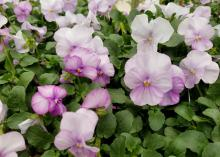 Small, flat blooms of white and lavender rise above a bed of green leaves.