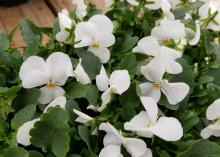 Pure white, flat flowers with yellow centers bloom among a bed of green leaves.