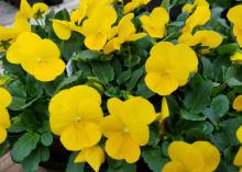 Vivid yellow blooms cover a mound of green leaves.