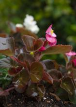 A pink flower blooms on a small plant.