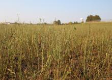 Stems of grass rise above a mostly bare, brown pasture.
