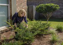 A woman leans over a bush growing in a bed outside a house.
