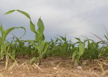 One small corn stalk stands in the foreground of a field of young corn.