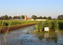 Rice growing in a wet field.