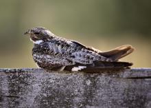Common nighthawk resting on cross post