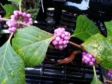 Three clumps of pink berries line a single stem with green leaves.