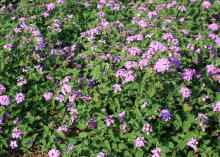 Dozens of purple blossom clusters rise among green foliage.