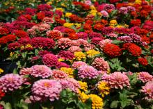 A sea of red, pink and yellow blooms are interspersed with a few green leaves.