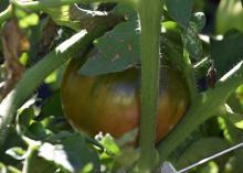 A single tomato grows on a lush plant.