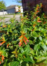Small, tubular, orange flowers bloom on a green bush with a house in the background.
