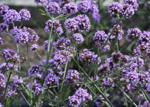 Dozens of round-shaped, purple flower clusters are suspended on slender stems.