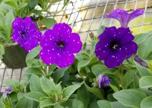 Individual purple flowers rise above the greenery placed on an open-grid surface.