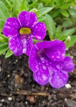 A small cluster of purple flowers bloom on a plant in a landscape bed.