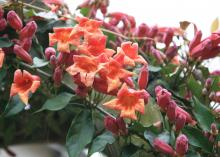 Trumpet-shaped orange flowers bloom on vines next to pink buds.