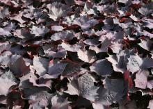 A sea of red-tinged black leaves fills the frame.
