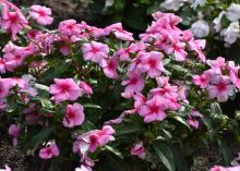 Dozens of pink blooms with red centers cover a green plant.