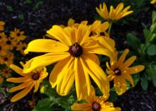A single, large yellow bloom with individual petals and a chocolate brown center rises above over, similar blooms.