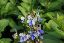 A cluster of delicate and wispy blue flowers rises above a background of foliage.