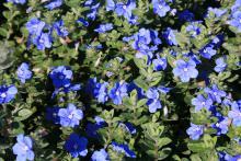 Dozens of small blue flowers bloom among green foliage.