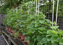 Leafy, green vines climb up a white trellis in a container garden.