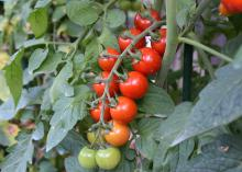 Tomatoes line a branch in two rows, with colors ranging from red to green.