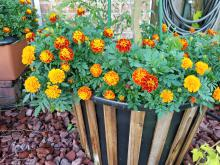 Dozens of round, orange and red flowers bloom on a plant growing in a decorative barrel.