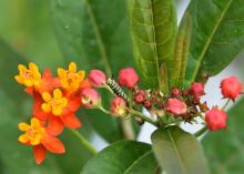 A yellow-and-black-striped caterpillar rests on a stem in a cluster of orange and yellow flowers.